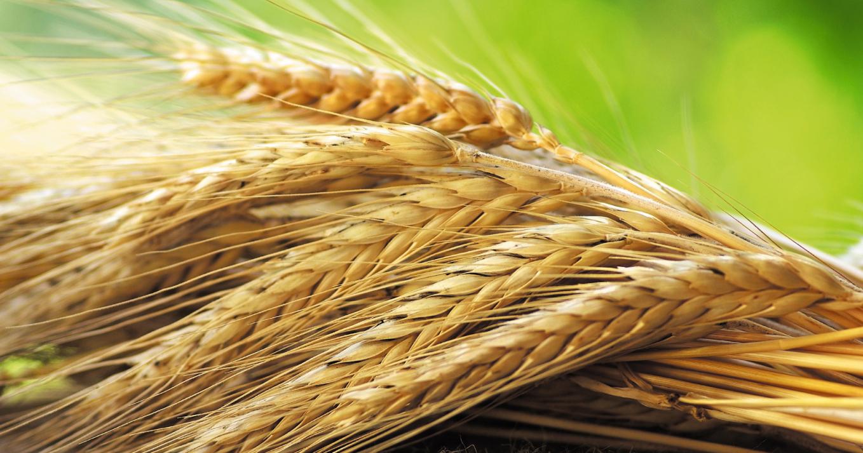 Пшеница: эликсир жизненных сил и молодости (видео)